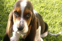 Scoobie / My little puppy looks just like this one