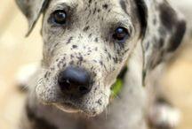 Grandanois puppy