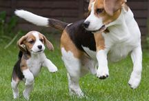 Beagles zijn... / Beagles is een honden ras, thuis heb ik ook een beagle. Haar naam is Luna. Luna is lief luistert goed, maar is soms ook een beetje ondeugend.... maar ik houd heel veel van Luna ik ik wil haar noooooit kwijt <3