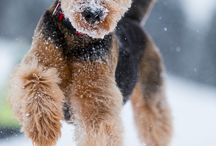 Airedale Terriers / Dogs