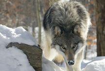 animal:オオカミ