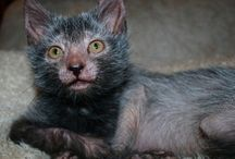 Werewolf Cat / A new breed of cats