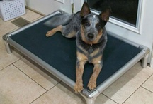 Australian Cattle Dog / Australian Cattle Dogs enjoying Kuranda beds! / by Kuranda Dog Beds