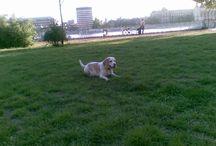 Elveszett beagle kutya