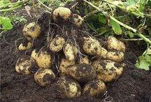 выращивание картофеля по Миттлайдеру