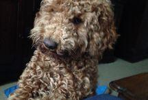 Poedel Puck / Puck is een middenslagpoedel die niet netjes gekapt wordt volgens poedelvoorschriften. Poedels zijn een beetje vergeten honden die door de 'nieuwe' doodles naar de achtergrond zijn verdrukt.  Poedels zijn ook allergie-vrij en ontzettende slimme honden die ook als hulphond opgeleid worden.  Puck is ook heel slim en erg leergierig en vooral ook nog heel speels.