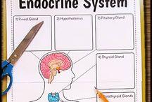 Sistemul endocrin
