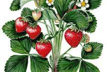 Morangos/Strawberries