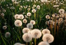 Dandelion Fluff / by Daphne Heath
