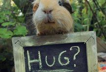 cavia/guinea pig