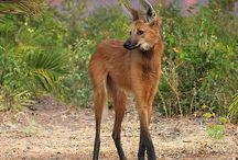 lobo guara mained wolf