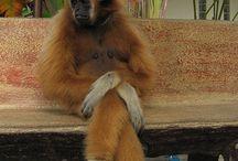 A / MACACOS / Macaco é um termo de origem africana (provavelmente do banto: makako) 1 utilizado como designação comum a todas as espécies de símios ou primatas antropóides, aplicada no Brasil, restritivamente, aos cebídeos (ou macacos do Novo Mundo) em geral. No sentido estrito, macaco refere-se às espécies de primatas pertencentes ao género Macaca.