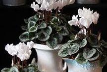Cyclamen everywhere / Cyclamen are special, colouring home & garden, decorating tables & windows, enjoy!