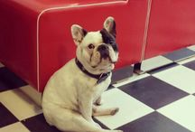 Lord Becon the french bulldog