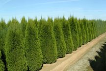 Evergreen hedge / Plants for an evergreen hedge