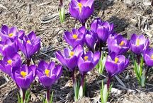 Spectacular Spring Bulbs / Photos and information about bulbs you plant in the fall and enjoy their colorful blooms in spring.