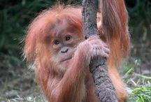 orangutanger