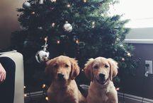 Dogs / Golden retrievers