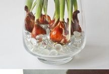 Force tulip bulbs to grow