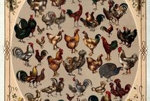 Chicks to Chickens