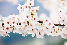 เทศกาลชมซากุระบานที่เมืองจินแฮ (Hwagae Cherry Blossoms Festival)
