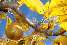 семечковые (груша,яблоня)