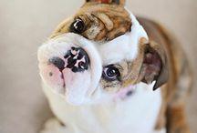 Frenchie Bulldogs <3