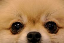 I love Pomeranians