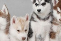 all things huskies