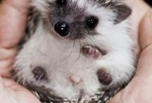 `Hedgehog! ♥♡
