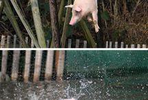 Animais - Porcos