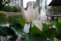 Waterlily pictures