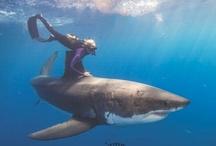 SHARKS !