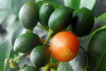 Orange Jasmine health benefits