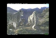 """The Snow Leopard Trust Campagin / As few as 4500 to 6000 wild snow leopards remain in the mountains of Central Asia - Give the """"Ghost of the Mountain"""" a future!   This week, we are supporting Snow Leopard Trust and their efforts to protects these cats by turning local communities into conservation allies. SHOP for your """"Ghost of the Mountain"""" tee: www.float.org and we'll donate $8 from your purchase!"""
