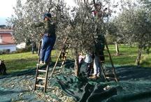 La raccolta delle olive Olive harvest / La raccolta per brucatura a mano, Trevi, Umbria