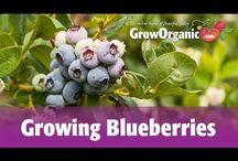 container garden blueberries- strawberries & fruits