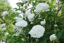 Rosiers de Damas (rosa damascena) / Hybrides naturels d'origine syrienne rapportés des Croisades. Issus des roses galliques, ces rosiers s'avèrent plus élevés (1,50 m.), avec un port plus souple et des aiguillons plus gros et nombreux. Les feuilles sont d'un vert grisâtre, au revers velu. Les fleurs sont plutôt claires et présentées en petits bouquets, très parfumées. Floraison parfois remontante selon les variétés. Ils sont employés pour produire essence et parfum de rose.