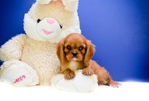 Teacup and toy puppies to adopt in Ohio / Find and adopt teacup puppies from the best breeder in Ohio, Affordable Pup. Affordable Pup sells AKC registered puppies, cute and healthy, in Ohio and near cities such as Columbus, Cincinnati, Dayton, Toledo, Cleveland, Akron, Canton, Youngstown.