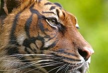 Majestic Cats / by Crown Ridge Tiger Sanctuary