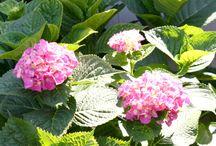 Hydrangeas / My Favorite Flower