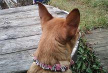 Русский той /  '''Русский той(устаревшее название породы — русский той-терьер)— порода собак относящаяся к группе декоративных собак.