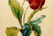 Bitki illüstrasyonu