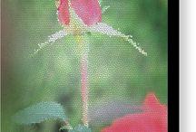 Red Rose Bud!