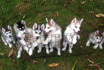 Siberian Huskies / Hi and welcome to my board filled with Images of gorgeous Siberian Huskies.  We are proud parents to a precocious 10 week old purebred puppy named Canoli.  Huskies are such easy going fun loving pooches!  Feel free to comment and enjoy!