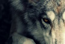 Loup / Photographies de loups