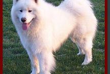 samoya dog