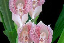 Anggrek Flowers