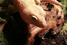 || Leopard Gecko ||♡
