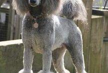 Poodle grooming